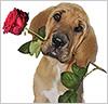 Liebesbotschaft: Hund bringt Rose